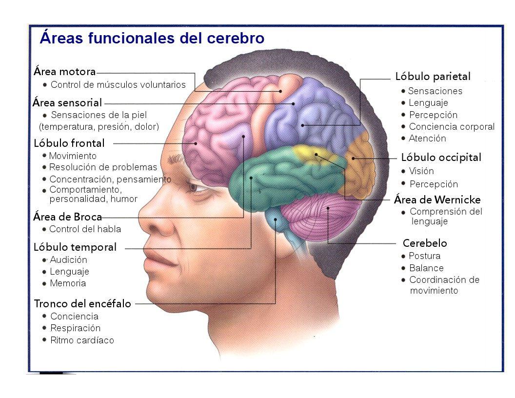 Areas funcionales del cerebro