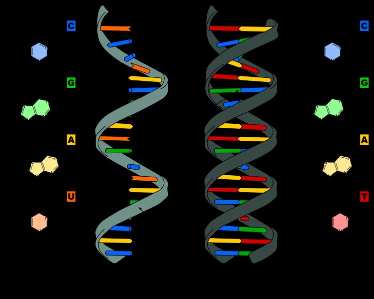 ARN-ADN