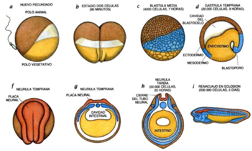 El plan corporal de los vertebrados