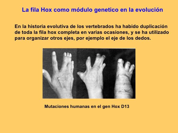 Fila Hox como módulo genético en la evolución