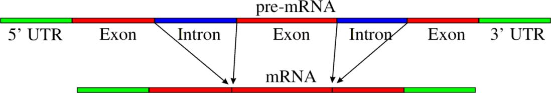 Spicing Pre-mRNA_to_mRNA