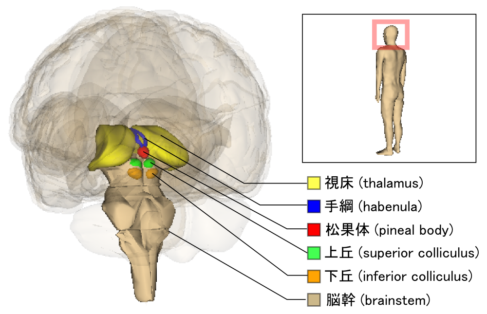 Coliculo superior-Brainstem_and_thalamus