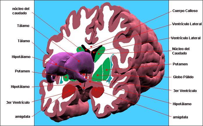corte del sistema limbico