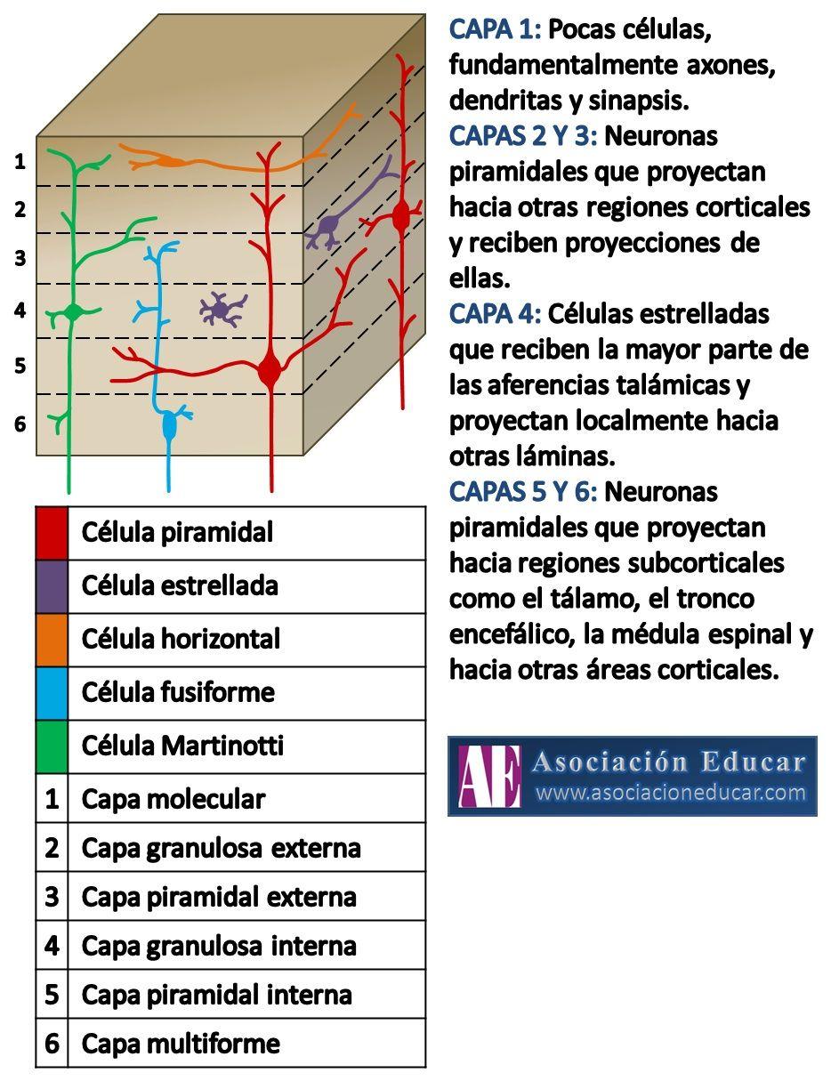 Seis capas del cortex