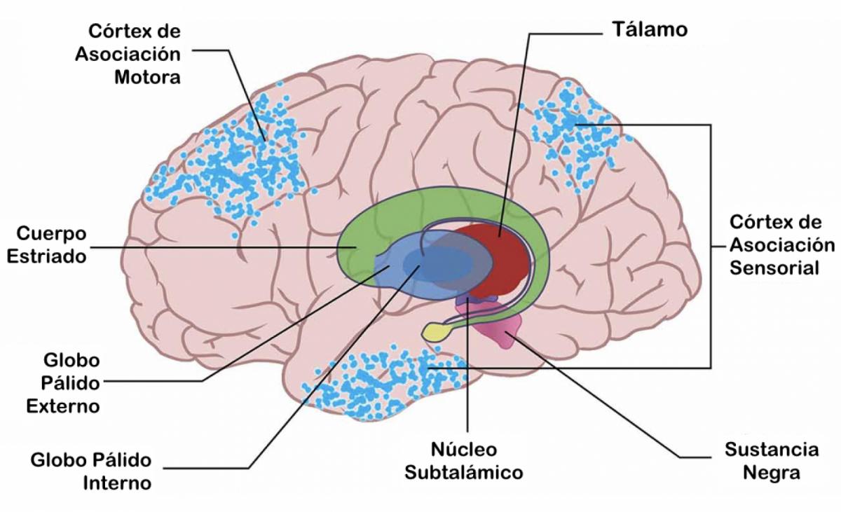 superficie-cortical-con-una-superposicion-de-los-ganglios-basales-y-el-talamo
