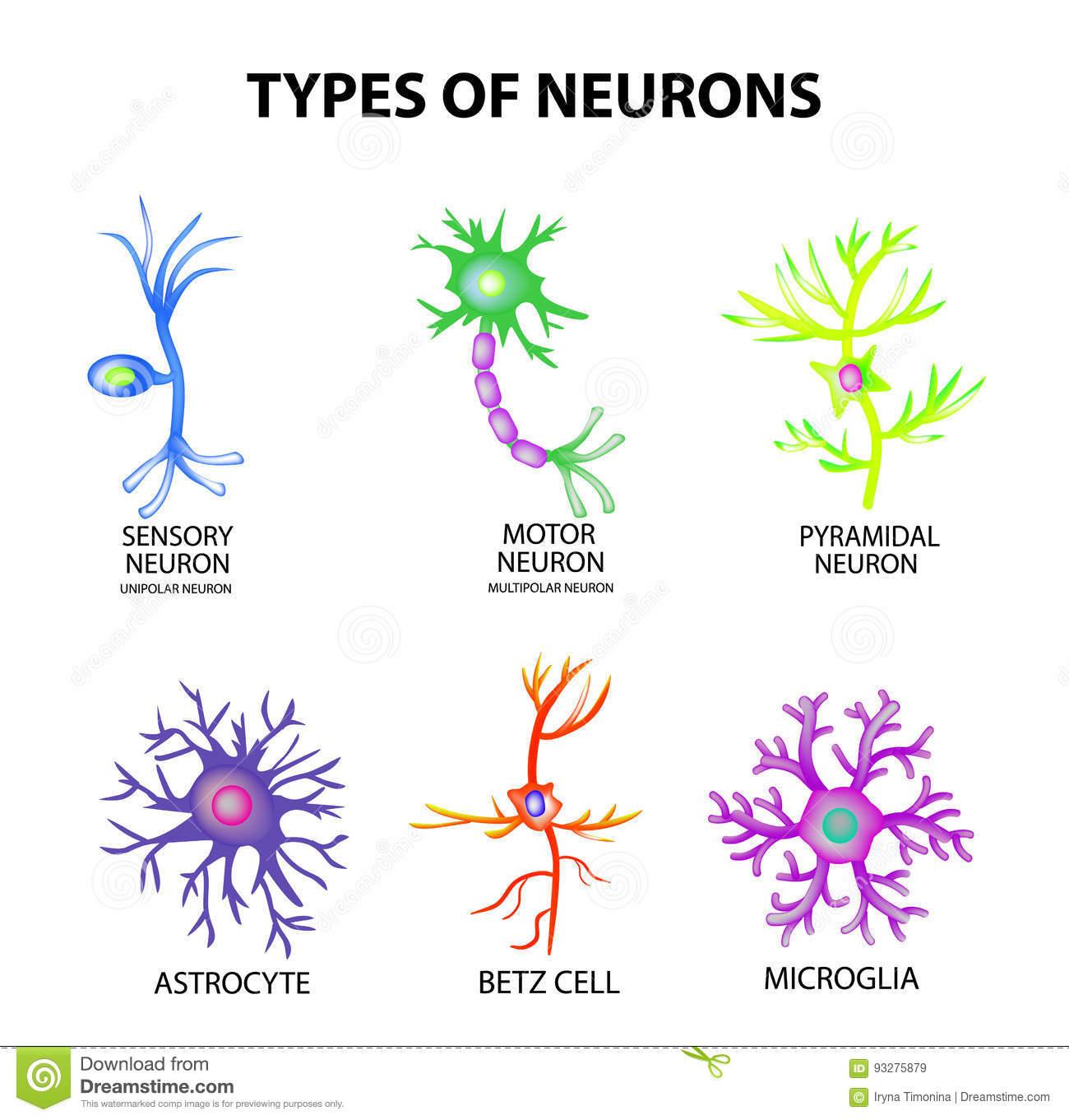 tipos de neurona-2