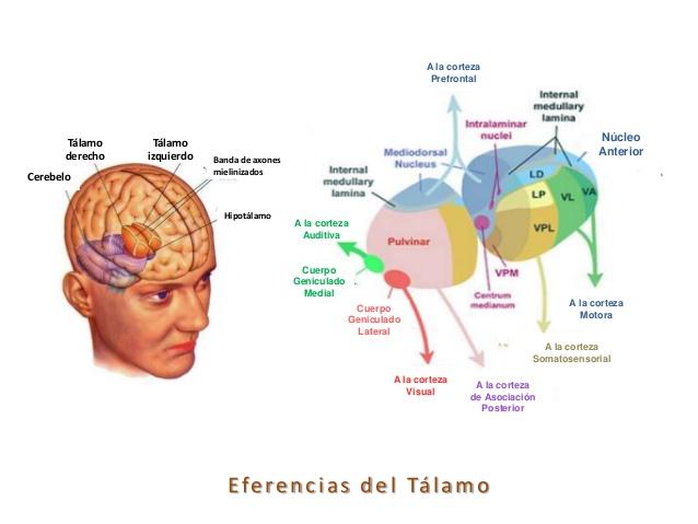 tlamo-y-corteza-cerebral-18-638